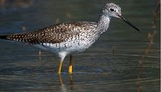 Migratory Birds - Bitter Lake - U.S. Fish and Wildlife Service - The lesser yellowlegs is a slender, long-legged shorebird that readily shows off the brightly colored legs that give it its name. Photo: Lesser yellowlegs/David Powell ©