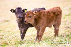 Brown baby cows