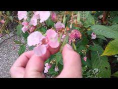 Springbalsemien - YouTube