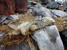 Land iguana. #Galapagos #Cruises #Nature #Landscapes #NemoCruises #Travel #Islands