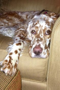 English Setter (Lawerack/Laverack/Llewellin/Blue Belton) What a beauty.