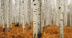 oecologia: Aspen Forest - Colorado (by Chad Galloway).