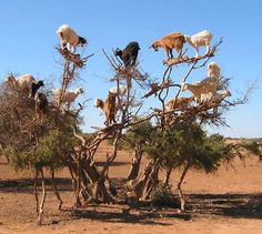 Tree climbing goats, Morocco.The goats climb the Argan tree to eat the fruit. The nuts inside are used to make Argan oil - used to make natural beauty products.