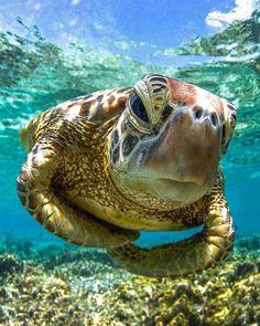 So it's world Turtle Day. I wonder if the turtles know this? World Turtle Day, Turtle Time, Animals Beautiful, Cute Animals, Vida Animal, Cute Turtles, Sea Turtles, Ocean Turtle, Turtle Baby