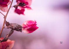 #Flowers. #Bokeh. #Pink