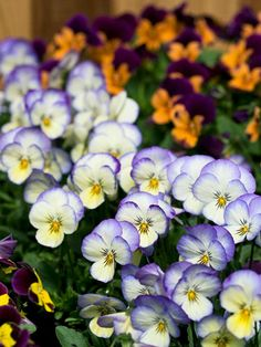 Cool-season annuals such as pansies and violas, nemesia, diascia, calendula, poppy, snapdragon, and sweet alyssum, can take a little frost.