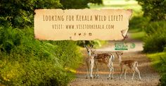 Kerala's wildlife variety is world-renowned and people from across the globe come to Kerala just to see it. visit: http://www.visitorkerala.com/wildlife-in-kerala.html