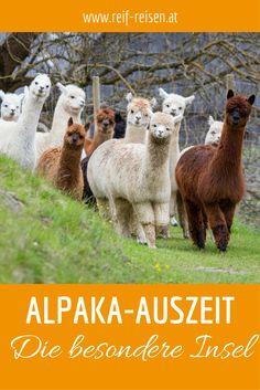Alpakas können Dir dabei helfen den Alltag hinter Dir zu lassen. Lerne diese wunderbaren Tiere bei Deiner Alpaka-Auszeit kennen. Otters, Better Life, Animals And Pets, Bucket, Amazing, Sweet, Blog, Travel, Animaux