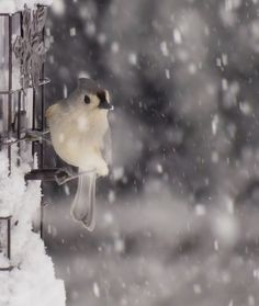 Sweet little Tufted Titmouse bird hangs onto the perches on this snowy feeder during a New England snowstorm. Winter wildlife image captured on a February morning in New Hampshire.