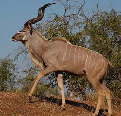 The impressive spiral horns of the greater kudu can be up to six feet long.
