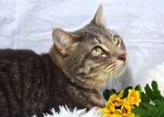 Meet Mandie Sue, a Petfinder adoptable Manx Cat | St. Cloud, FL | You can fill out an adoption application online on our official website.Hi, My name is Mandie Sue....
