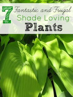 Do you have a yard that doesn't get much sun? You might want to look for these 7 Frugal Shade Loving Plants are beautiful and easy on the budget.