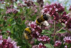 Urban Pollinators: Wild Marjoram (Origanum vulgare) - a magnet for bees, butterflies and other pollinators
