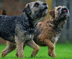 Border Terrier #Dogs #Puppy Love Borders motherlylove.co.uk