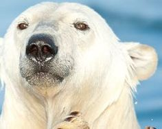 Free Arturo, Argentina's only polar bear, from living hell!!! http://www.thepetitionsite.com/815/615/329/free-arturo-argentinas-only-polar-bear-from-living-hell/