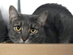 ***TO BE DESTROYED 10/26/17*** SHY BUSTER PLAYS NICE WITH OTHER CATS AND NEEDS A HOME OF HIS OWN!! BUSTER was brought in as a