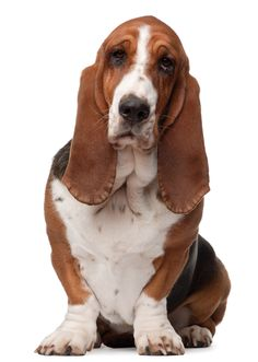 Basset Hound set to come off high-profile breed list #BassetHound #dogs #dogshows #dogshowing