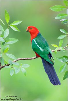 Australian King Parrot (Alisterus scapularis) endemic to eastern Australia