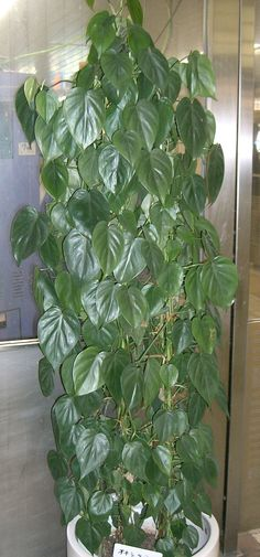 Philodendron hederaceum | Features | Growing Instructions | Special Care |
