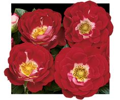 Teeny Bopper - Shrublet Rose   Available @ Bluemel's Garden Center 2015 www.bluemels.com