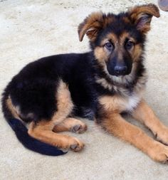 """Timber"" the cutest long-haired German Shepherd puppy ever :)"