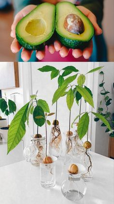 Want beautiful & FREE garden & indoor plants? Regrow kitchen scraps like mango seed, avocado pit, pineapple top, lemon s Plants Grown In Water, Water Plants, Regrow Vegetables, Growing Vegetables, Growing An Avocado Tree, How To Grow Lemon, Avocado Seed, Avocado Plant From Seed, Unique Plants