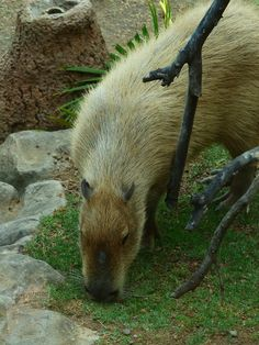 Free Pictures, Free Images, Capybara, Left Alone, Animal House, Rodents, Exotic Pets, Predator, South America