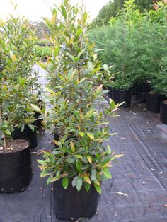 Elaeocarpus Reticulatus 100Lt Bag or Blueberry Ash Tree