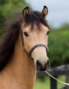 Buckskin,my favorite color ~Kelli~ Charles Darwin, Barnyard Animals, Cute Animals, Poney Miniature, Beautiful Creatures, Animals Beautiful, Most Beautiful Horses, Pretty Horses, Horse Therapy