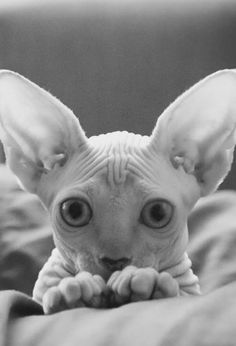 Spynx cat
