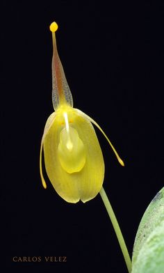 Miniature-orchid / Micro-orquidea: Restrepia flosculata auea - Flickr - Photo Sharing!