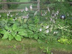 Hosta's flowering  July 2015