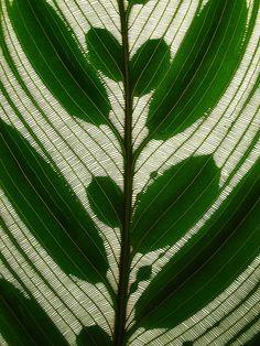 Peacock plant. ~via omnia, Flickr