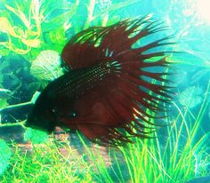 1000 images about garden pond fish on pinterest for How to take care of beta fish