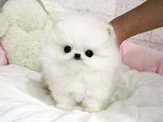 this real live teacup pomeranian looks just like a baby