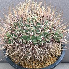 Gymnocalycium gibbosum v.nobile