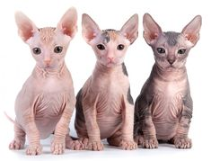 Breeds Of Hairless Cats - Cats Types