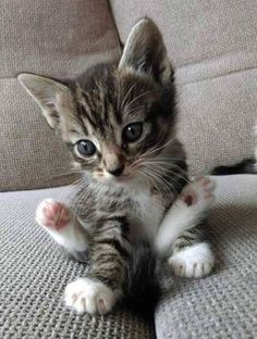 Happy Cat – April 2019 – We Love Cats and Kittens What a cutie patootie ! Related Munchkin Cat Pictures -Cutest Baby Animals : Pictures of Kittens, Dogs,. Kittens And Puppies, Cute Cats And Kittens, I Love Cats, Adorable Kittens, Fluffy Kittens, Tabby Kittens, Siberian Kittens, Small Kittens, Bengal Cats