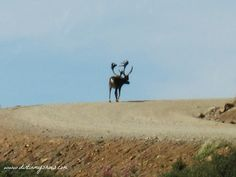 Caribou || Denali National Park || Dirt In My Shoes  Bus Options