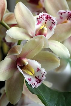 Cymbidium orchids #2 by Lord V, via Flickr