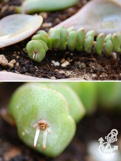 Propagating Succulents from Leaves and Cuttings - rooting jade necklace from cutting