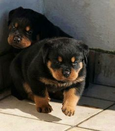 Baby Rottweiler, Fluffy Puppies, Baby Puppies, Dogs And Puppies, Super Cute Animals, Cute Baby Animals, Pet Dogs, Dog Cat, Doggies