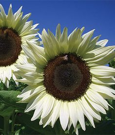 Sunflower 'Coconut Ice Hybrid' - Flowers start out cream and mature to a pure white. Height 5'.