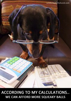 Dachshund budgeting for more squeaky balls - cute! This is like my doxie Barney Fife.