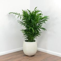 Grigio Balloon Plant Pot - Antique White Concrete - 42 x Indoor Plant Pots, Potted Plants, Silk Plants, Ficus, Palm House Plants, Toxic Plants For Cats, Small Yellow Flowers, Indoor Palms, Air Cleaning Plants