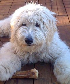 Dov, It is the Hebrew word for Bear, is a licenced therapy dog, bringing not only his owners joy, but countless others as well. Puppies And Kitties, Baby Puppies, Cute Puppies, Cute Dogs, Doggies, Goldendoodle Grooming, Labradoodle Dog, Cockapoo, Tibet Terrier