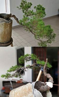 How For Making Your Landscape Search Excellent Nice Training Tip Here To Add More Interest To A Juniper. Bonsai Wire, Bonsai Plants, Bonsai Garden, Conifer Trees, Deciduous Trees, Acer Palmatum, Ikebana, Bushes And Shrubs, Bonsai Tree Care