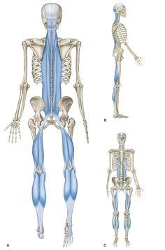 Abb. 3_Die oberflächliche Rückenlinie: Sie verläuft von den Füßen (Plantarfaszie) über Rücken, Nacken, Schädel bis zu den Augenbrauen, stützt und schützt den Rücken und ist verantwortlich für die aufrechte Haltung und die Streckung des Oberkörpers nach oben und hinten.