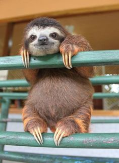 sloth and its cute little pudgy sloth belly!