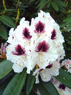 Landscape Service Plants Directory Rhododendron Sho Database Of Information And Images Regarding Garden From All Over The World